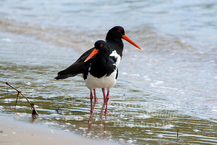 Australian Pied Oystercatcher (Haematopus longirostris) - The Pied Oystercatcher is black with a white breast and belly. All oystercatchers have a bright orange-red bill, eye-rings and legs and a red eye. Young birds are similar in appearance to the adults, but lack the intense red-orange colours and are brown rather than black. The Pied Oystercatcher is shy of humans and seldom allows close approach. Cairns Esplanade, Far - North Queensland. Australia.
