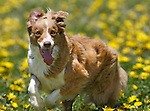 For Kelp, a 5-year-old border collie, it's all about chasing a tennis ball. Kelp kept his eye on the prize as he galloped through the dandelion-covered Marina Green.
