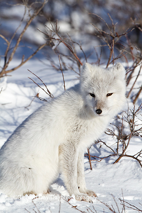 01863-01119 Arctic Fox (Alopex lagopus) in snow in winter, Churchill Wildlife Management Area, Churchill, MB Canada