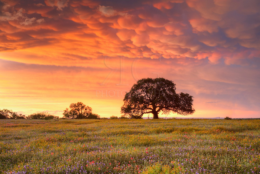 Along Highway 29 between Llano and Mason Counties, this field of wildflowers rests after a strong storm passed through the area. These mammatus clouds soaked up the fading sunlight and created this image of a Texas Hill Country evening.