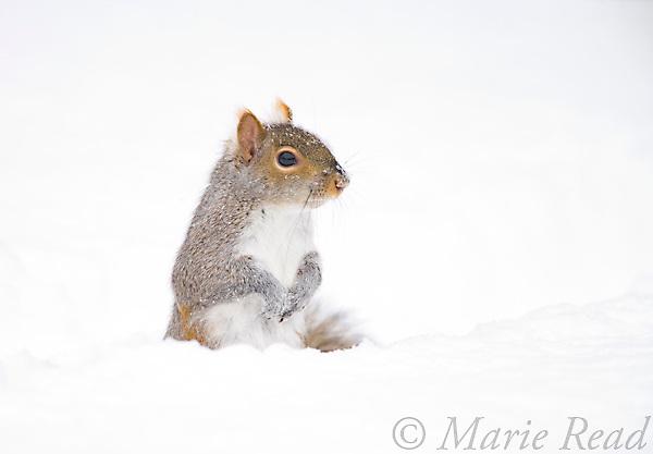 Gray Squirrel (Sciurus carolinensis) standing in deep snow, New York, USA.