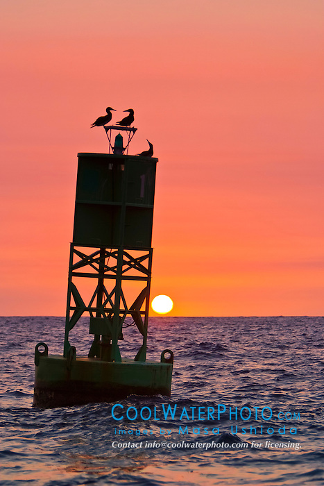 silhouette of brown boobies, Sula leucogaster, resting on navigational buoy aka green can at sunset, Kona Coast, Big Island, Hawaii, USA, Pacific Ocean