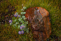 Lupines and Granite, Mono Pass Trail, Yosemite