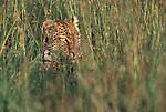 Leopard resting in the grass in Africa.