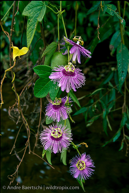 Blossoms of a sleder passion flower vine (Passiflora sp.) above a stream in lowland tropical rainforest, Bahuaja-Sonene National Park, Puno, Peru.