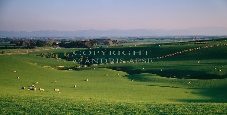 Sheep on rolling green pasture near Palmerston North. Manawatu Region. New Zealand.
