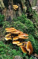 Gemeiner Samtfußrübling, Gemeiner Samtfuß-Rübling, Pilzgruppe an Baumstubben, Winterpilz, Winter-Pilz, Enoki, Enokidake, Enokitake, Flammulina velutipes, Collybia velutipes, golden needle mushroom, winter mushroom, velvet foot,  velvet stem