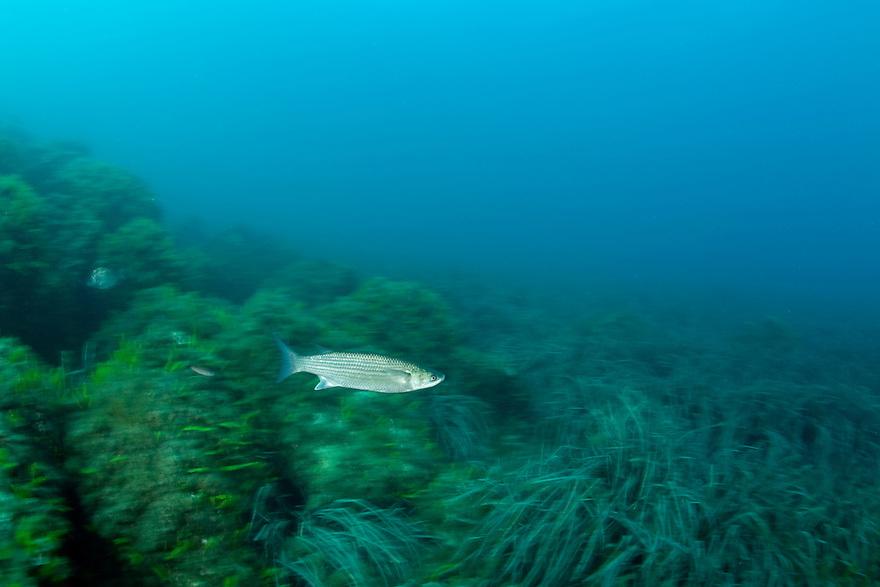 Thicklip grey mullet, (Chelon labrosus) swimming over the Posidonia oceanica bed, Larvotto Marine Reserve, Monaco, Mediterranean Sea<br /> Mission: Larvotto marine Reserve