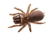 Purse-Web Spider - Atypus affinis, Atypidae - Female