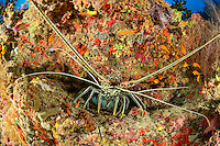 Panulirus versicolor, Vielbarbige Languste, Painted Spiny Lobster,  Malediven, Indischer Ozean, Baa Atoll, Maldives, Indian Ocean