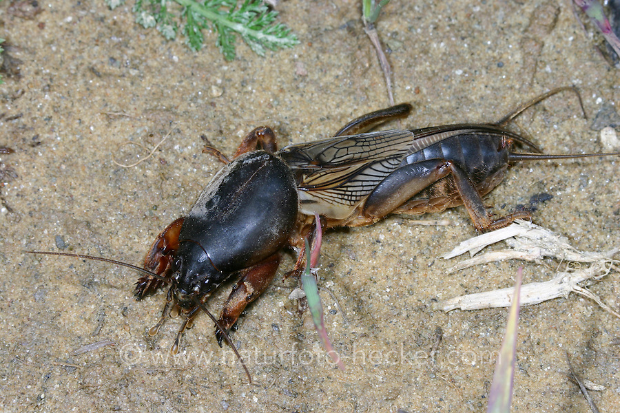 Europäische Maulwurfsgrille, Gemeine Maulwurfsgrille, Maulwurfgrille, Gryllotalpa gryllotalpa, European mole cricket, mole cricket, Maulwurfsgrillen, Gryllotalpidae, mole crickets