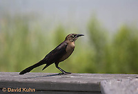 0916-0906  Juvenile Great-tailed Grackle, Quiscalus mexicanus © David Kuhn/Dwight Kuhn Photography