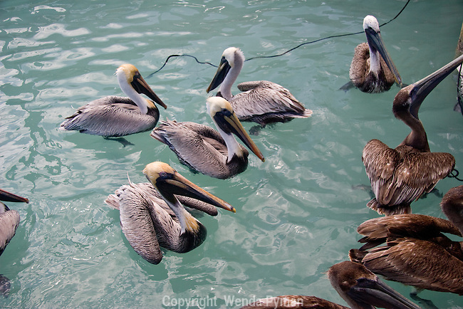 Brown pelicans wait apprehensively for a handout.