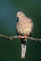 518130005 wild adult inca dove columbina inca perched on twig in rio grande valley in texas
