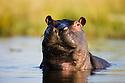 Hippopotamus (Hippopotamus amphibius) in water, portrait, Moremi Game Reserve, Okavango Delta, Botswana