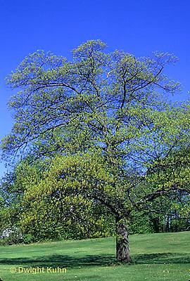 TT18-028c  Oak tree - spring - Quercus spp.