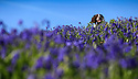 03/05/14<br /> <br /> Springer spaniel, Monty enjoys the Bank Holiday 'blues' as he lies down among  bluebells which are carpeting acres of fields and woodland at Bow Wood near Lea Bridge in Derbyshire.<br /> <br /> All Rights Reserved - F Stop Press.  www.fstoppress.com. Tel: +44 (0)1335 300098