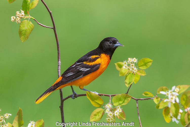 Male Baltimore oriole in spring.