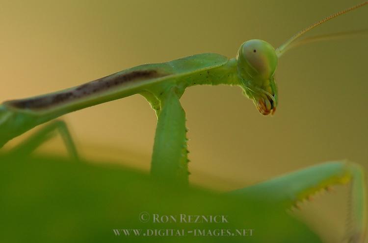 Mantis on leaf, Close portrait detail crop, California Mantis male, Stagmomantis californica, Praying Mantis, Southern California