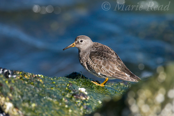 Purple Sandpiper (Calidris maritima), transitional plumage, Barnegat Inlet, New Jersey, USA