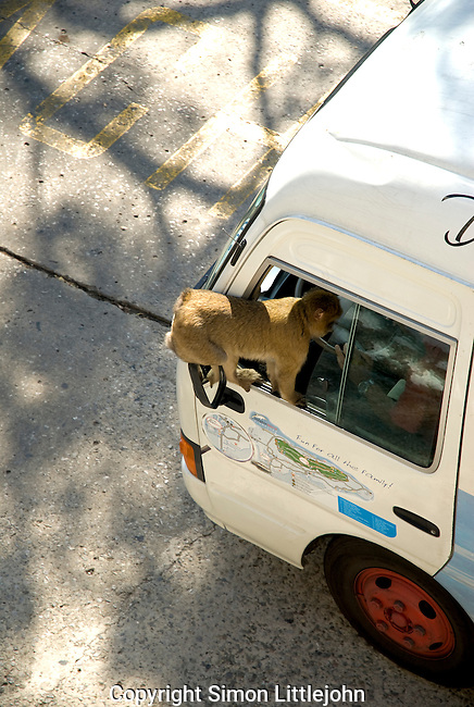 Barbary Macaque sitting on wing mirror of tourist bus hoping the bus drive will feed it. Rock of Gibraltar.