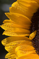 Sunflower portrait with water droplets