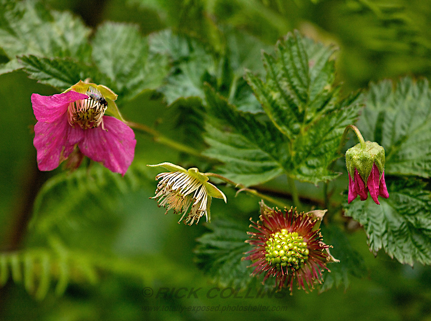 A group of salmon berry blossoms depict the various stages of flowering. Lake Clark National Park, Alaska
