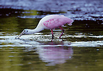 Roseate wpoonbill, Ding Darling National Wildlife Refuge, Florida