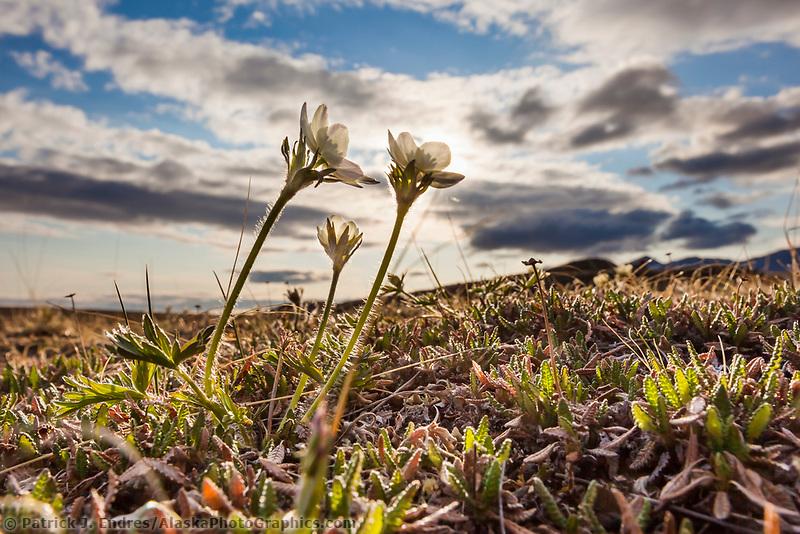 Wind flower on tundra, Brooks Range, National Petroleum Reserve, Alaska.