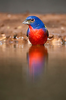 Male Painted Bunting at water's edge