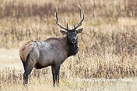 01980-03014 Elk (Cervus elaphaus) bull male, Yellowstone National Park, WY