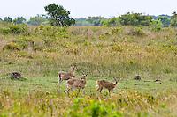 Reedbuck, St Lucia Wetland Park, SA