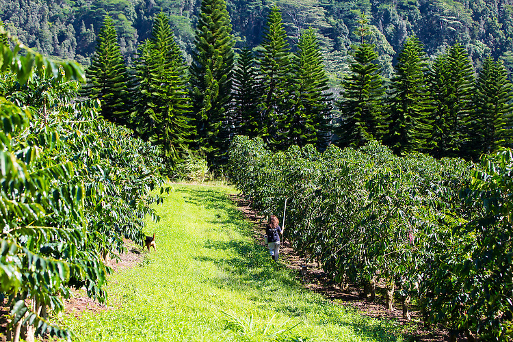 Laurie Obra, the owner of Rusty's Hawaiian Coffee, with her daughter Joan Obra and their dogs, Chase and Mele, picking coffee, known as cherry, and at her coffee farm in an area called Cloud Rest in the district of Ka'u on the Big Island of Hawaii, USA, America