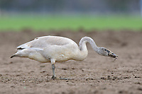 Juvenile Trumpeter Swan (Cygnus buccinator) foraging in an agricultural field. Skagit County, Washington. April.
