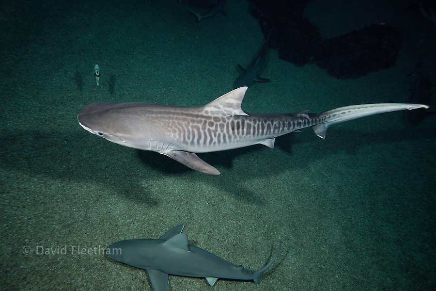 This young tiger shark, Galeocerdo cuvier, displays the markings that give this species their common name.  These markings will fade as the shark gets older.  Hawaii.