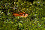California Red-legged Frog (Rana draytonii) female in pond covered with duckweed, Elkhorn Slough, Monterey Bay, California
