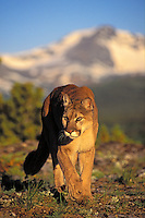 COUGAR ( Felis concolor)..Male in alpine meadow. Summer..Rocky Mountains.