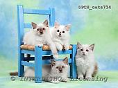 Xavier, ANIMALS, cats, photos+++++,SPCHCATS734,#a# Katzen, gatos