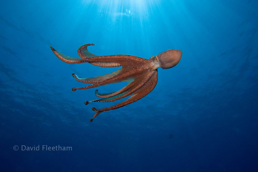 Day octopus, Octopus cyanea, Hawaii.