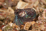 Bobtail Squid (Euprymna sp.) North Raja Ampat, West Papua, Indonesia