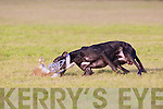 Dogs in action at the delayed Christmas coursing meet in Abbeyfeale which took place over two days on the 29th and 30th December in Abbeyfeale..