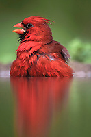 northern cardinal, Cardinalis cardinalis, male bathing, Rio Grande Valley, Texas, USA, North America