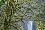 Latourell Falls and bigleaf maples (Acer macrophyllum), Columbia River Gorge, Oregon, USA<br /> <br /> Canon EOS 5DS R, EF100-400mm f/4.5-5.6L IS II USM lens, f/20 for 2.5 seconds, ISO 100