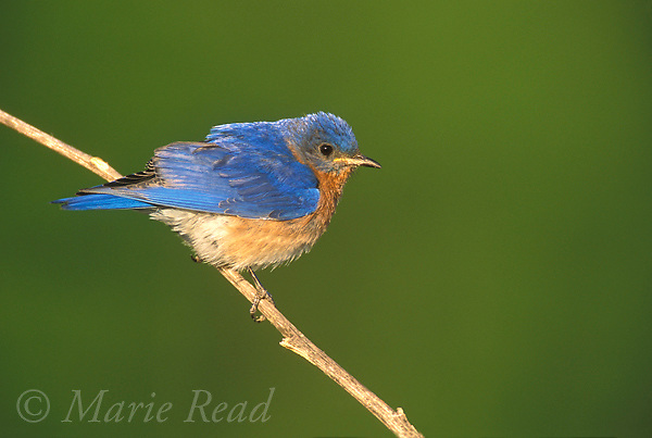 Eastern Bluebird (Sialia sialis), male, summer, New York, USA <br /> Slide # B136-288