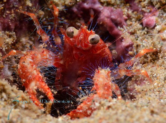 Crab-Galathea sp 4, Anilao