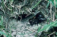 Field Cricket, Gryllus campestris, male singing in front of burrow, Goldau, Switzerland, May 1998