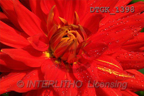 Gisela, FLOWERS, photos(DTGK1398,#F#) Blumen, flores, retrato