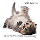 Xavier, ANIMALS, REALISTISCHE TIERE, ANIMALES REALISTICOS, cats, photos+++++,SPCHCATS833,#A#