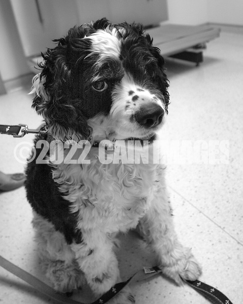 JAMISON, PA - MARCH 27: Cooper the cocker spaniel waits in the exam room scale during his trip the the veterinarian March 27, 2014 in Jamison, Pennsylvania. (Photo by William Thomas Cain/Cain Images)