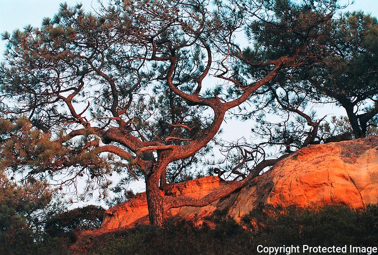 Torrey Pine